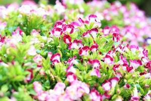 torenia, flor de osso da sorte no jardim foto