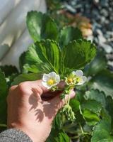 pessoa segurando flores pequenas foto