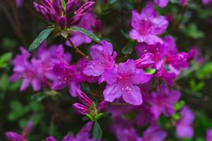 flores roxas desabrochando foto