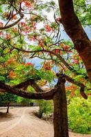 Poinciana real ou flor de árvore da chama na Tailândia foto