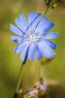 chicória planta medicinal foto