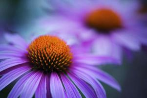 flor de equinácea vibrante e colorida foto