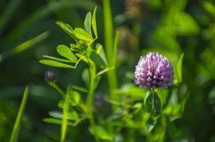 trifolium pratense - trevo vermelho no sol do final do verão foto