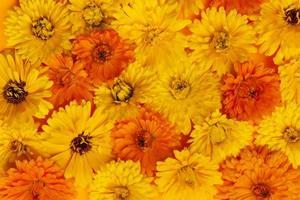 fundo de flores de calêndula