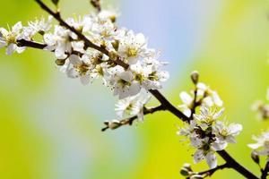 galho de espinheiro com flores brancas, crataegus laevigata foto