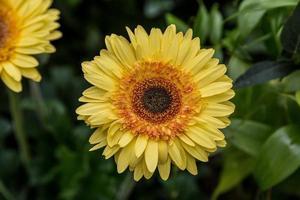 close-up de uma flor amarela brilhante foto