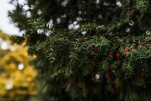 pinheiro com bagas