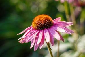 echinacea / coneflower