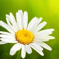 grama verde e camomilas