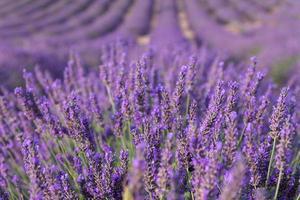 lindos campos perfumados de lavanda foto
