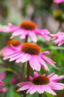 coneflower roxo foto