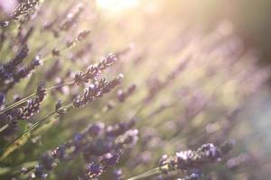 flores de lavanda durante o pôr do sol em provence foto