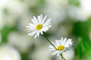 flores de camomila foto