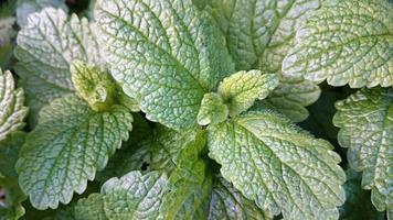 melissa ou erva-cidreira foto