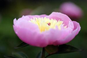 flores, peônia foto
