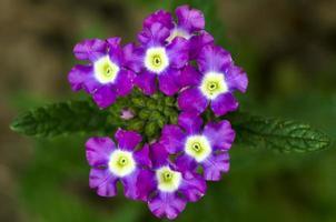 flores roxas no galho foto