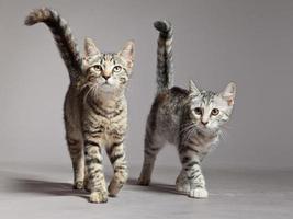 dois gatinhos malhados bonitos caminhando em direção à câmera. foto