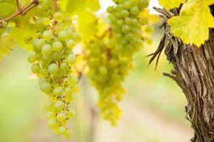 uvas para vinho branco na vinha foto