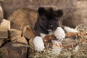 filhote de cachorro americano akita foto