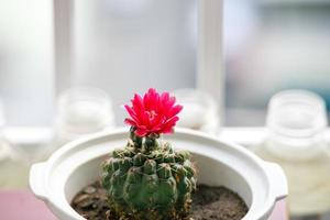 flor de cacto rosa foto