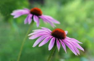 coneflower roxo oriental foto