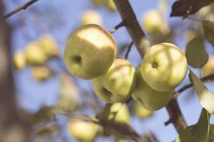 estilo lente inclinada de maçãs granny smith foto