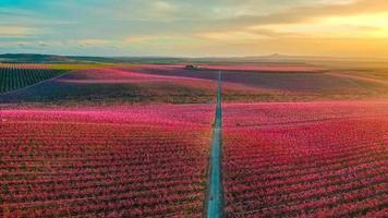 campo de flores vermelhas ao pôr do sol foto