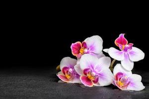 bela phalaenopsis de orquídea roxa em fundo preto com dr foto