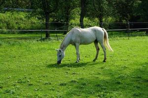cavalo branco pastando foto