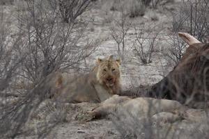 leão com presa namibia foto