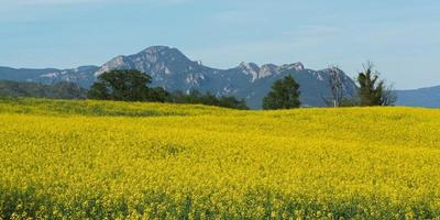 campo amarelo no verão foto