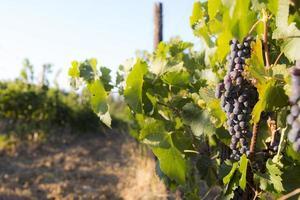 uvas vermelhas cultivadas em vinhedo