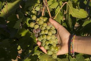 pessoa segurando um cacho de uvas foto