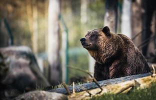 urso pardo em uma floresta