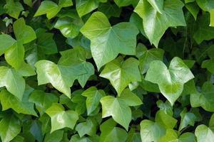 folhas verdes de hera foto