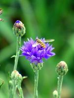 abelha em uma flor roxa