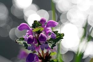flores roxas com fundo bokeh