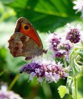 borboleta laranja em flores roxas foto