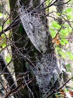 teias de aranha em uma árvore