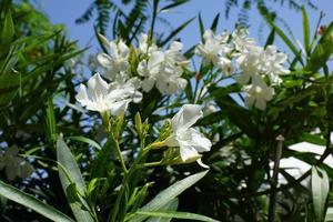 rododendros no verão