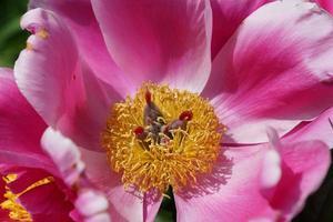 peônia rosa no jardim foto