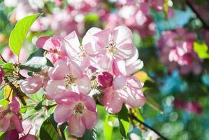 close up da flor de cerejeira