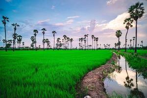 campos de arroz e palmeiras
