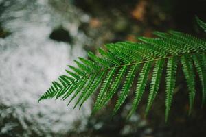 folha de samambaia na frente de um riacho foto