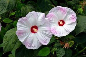 flor de hibisco gigante foto