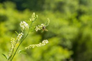 abelha em flores brancas