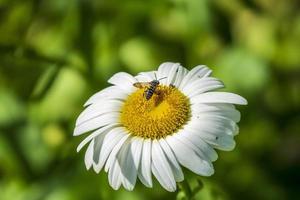 abelha em uma margarida