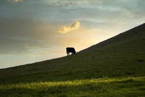 vaca pastando ao pôr do sol