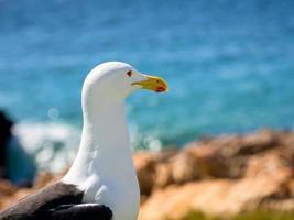 gaivota kelp na áfrica do sul