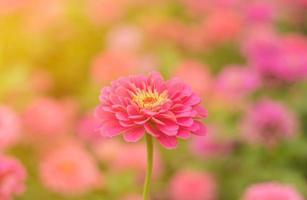 flor rosa no jardim foto